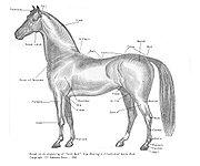 180px-horse_parts